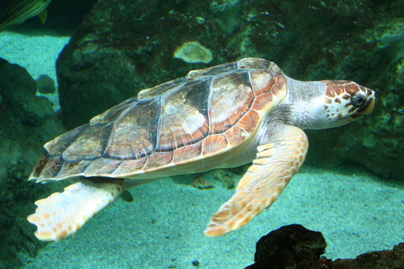 Caretta_caretta_wikipedia