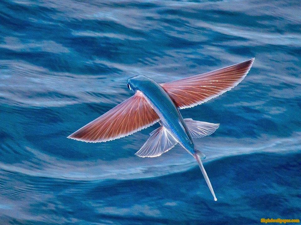 flying fish by cacodaemonia - photo #23